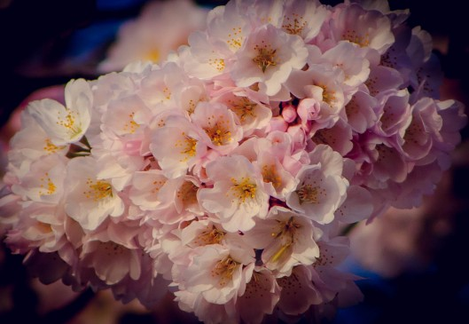 Cherry Blossoms 2015-005